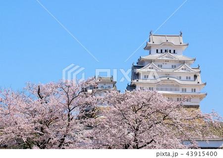 姫路城と桜 43915400