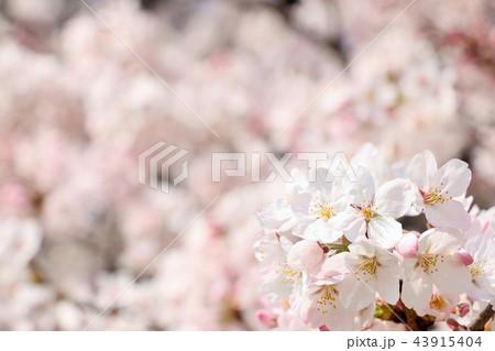 満開の桜 43915404