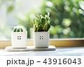 サボテン 観葉植物 窓辺の写真 43916043