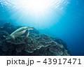 ウミガメ 亀 アオウミガメの写真 43917471