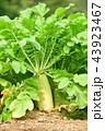 畑 野菜 実りの写真 43923467