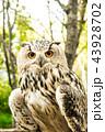 フクロウ 野鳥 かわいいの写真 43928702