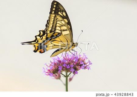 花の蜜を吸うアゲハ蝶 43928843