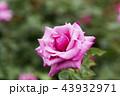 バラ 花 植物の写真 43932971