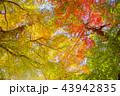 秋 紅葉 葉の写真 43942835