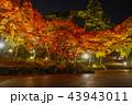 紅葉 ライトアップ 秋の写真 43943011