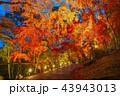 紅葉 ライトアップ 秋の写真 43943013