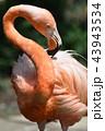 フラミンゴ ベニイロフラミンゴ 鳥類の写真 43943534