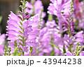 花 シソ科 花虎の尾の写真 43944238