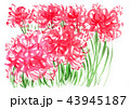 clusteramallis18922pix7 43945187