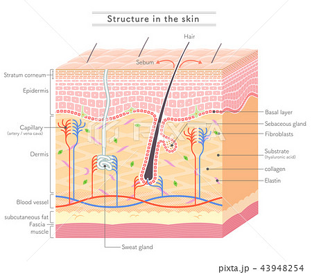 Structure in the skin_English notation 43948254