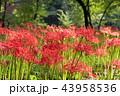 巾着田 曼珠沙華 彼岸花の写真 43958536