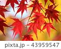 紅葉 モミジ 葉の写真 43959547