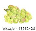 果物 瀬戸ジャイアンツ ぶどうのイラスト 43962428