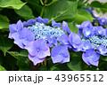 ガクアジサイ 紫陽花 花の写真 43965512