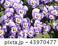 ビオラ 花 紫の写真 43970477