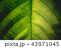 背景 葉 森林の写真 43971045