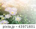 花 明かり 菊科の写真 43971601