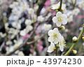 満開の白い梅、早春の輝き 43974230