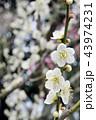 満開の白い梅、早春の輝き 43974231
