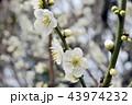 気品漂う白い梅の花 43974232
