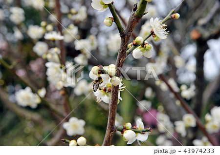 ミツバチと白い梅の命のつながり 43974233