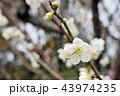 気品漂う白い梅の花クローズアップ 43974235