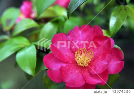 困難に打ち勝つ美しい山茶花-横位置 43974236