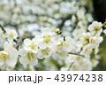 高潔な美しい白い梅の花 43974238