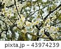 咲き誇る満開の美しい白い梅 43974239