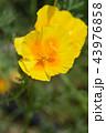 黄色い 黄 黄色の写真 43976858