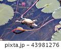 両生類 山車 浮くの写真 43981276