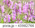 花 シソ科 花虎の尾の写真 43982766