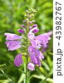 花 シソ科 花虎の尾の写真 43982767