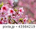 桜 さくら サクラの写真 43984219