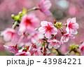 桜 さくら サクラの写真 43984221