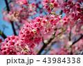 桜 さくら サクラの写真 43984338