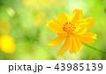 キバナコスモス コスモス 黄色の写真 43985139