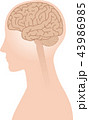 脳 横向き 脳みそのイラスト 43986985