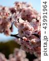 梅の花 43991964