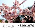 梅の花 43991970