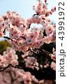 梅の花 43991972