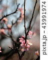 梅の花 43991974