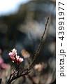 梅の花 43991977