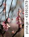 梅の花 43991979