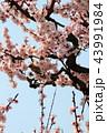 メジロと梅の花 43991984