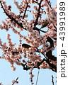 メジロと梅の花 43991989