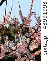 満開の梅の花 43991993