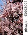 満開の梅の花 43992002