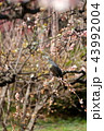 梅の木で休む鳥 43992004